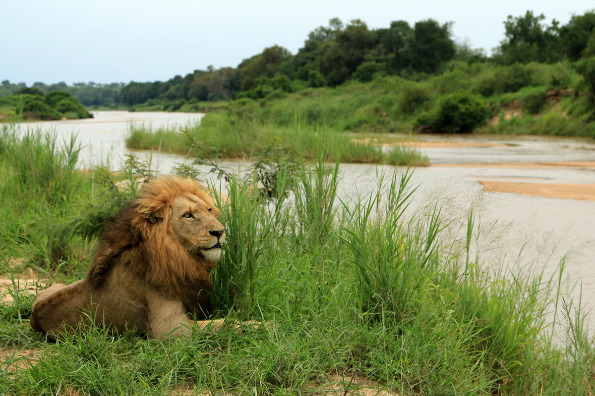 Male lion laying in the grass